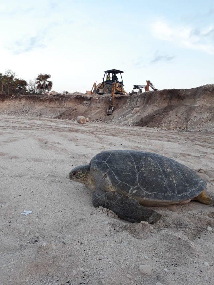 Grupo Posadas destruye duna y atenta contra torturas marinas en Chemuyil: Grupo Gema