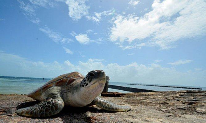 Acuerdos entre la autoridad municipal y científicos para proteger a la tortuga marina