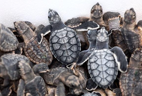 Primera liberación de crías de tortugas marinas en Puerto Morelos