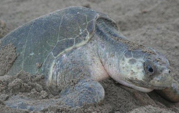 En Cancún se protegen más de 4 mil nidos de tortugas marinas